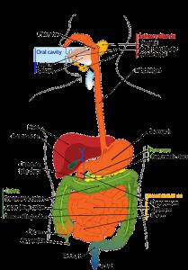 肝臓病(肝臓疾患)