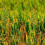 イネ科の花粉症